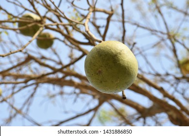 Bael fruit hanging from its tree Aegle marmelos L., Bengal quince, golden apple, Japanese bitter orange, stone apple, wood apple,