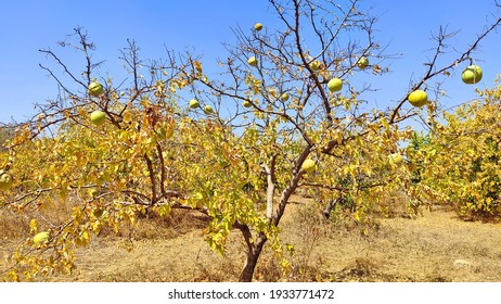 Bael fruit tree with big size fruits in its natural environment.