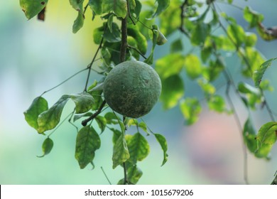 Bael fruit with tree branch