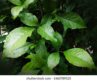 Bael is the most ancient sacred tree in India. Mostly, it is planted near the temple and used as a dedication to Lord Shiva. Has great medicinal value also.