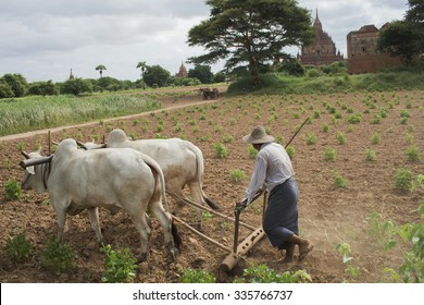 Bagan, Myanmar - 06,Sep. 2015: Burmese cow farmer plowing
