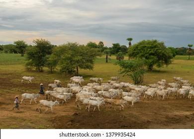 BAGAN, MYANMAR (BURMA) - Aug 21, 2017: A herd of white zebu cows cattle walking through fields in rural Bagan, Myanmar, Burma, South East Asia, during peaceful serene sunset. Asian farming