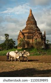 Bagan, Myanmar, June 2017: Ploughing amongst the temples using buffalos at the  World Heritage Site at Bagan, Myanmar