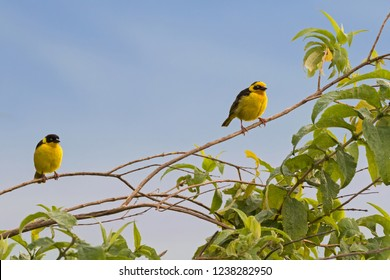 Baglafecht Reichenow's weaver male female birds in yellow perching on branch at Ngorongoro Crater in Tanzania, East Africa  (Ploceus baglafecht)