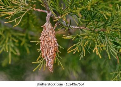 Bagworm. Cocoon of the Evergreen Bagworm moth (Thyridopteryx ephemeraeformis of the Psychidae family) on a branch of eastern red cedar (Juniperus virginiana)