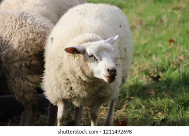 Bah bah fluffy sheep  standing in farm field .autumn weather