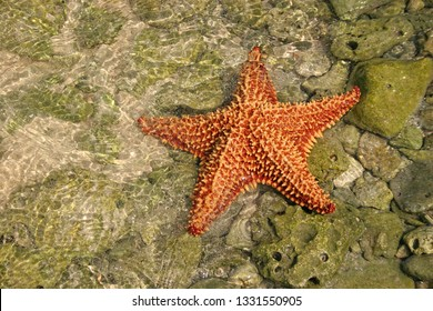 Bahama starfish in transparent in the shallow waters of Ambergris caye, Belize