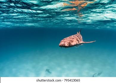 Bahamas Nurse Shark
