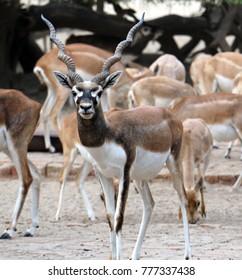 Bahawalpur, Pakistan - 12/15/2017 - Beautiful wild animal Blackbuck deer (Antilope cervicapra) or Indian antelope in Lal Suhanra National Park Safari Park, Bahawalpur, Pakistan