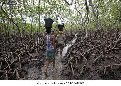 Cairú, Bahia / Brazil - 03/11/2015: crab  scrapers walking on mangrove forest, Boipeba Island