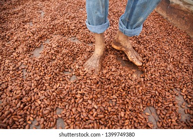 Ilhéus, Bahia / Brazil - 07/23/2016: Worker walking on cocoa beans in drying barge, traditional process - cocoa farm in the south of Bahia - Cacao Coast