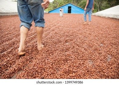 Ilhéus, Bahia / Brazil - 07/23/2016: Workers walking on cocoa beans in drying barge, traditional process - cocoa farm in the south of Bahia - Cacao Coast