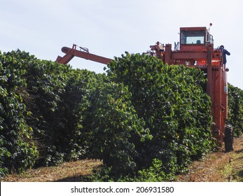 BAHIA, BRAZIL, JUNE 17, 2004. Coffee harvesting in Brazil.