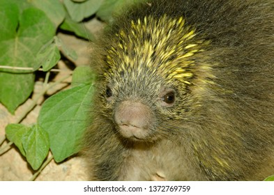 The Bahia porcupine, Coendou insidiosus, is a New World porcupine species in the family Erethizontidae endemic to the Atlantic Forest of southeastern Brazil.
