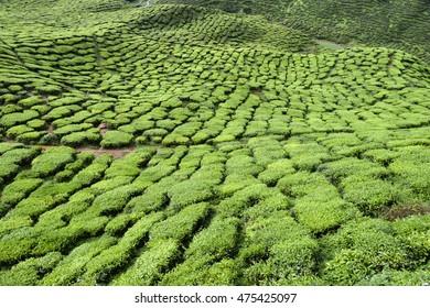 Bahrat tea plantation in Cameron Highlands, Malaysia.
