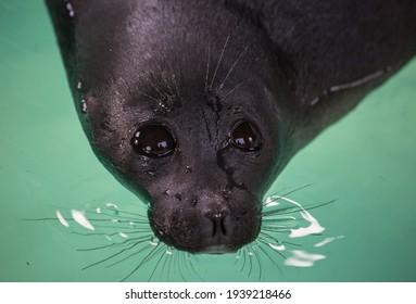 Baikal seal or Nerpa endemic of lake Baikal looking at the camera with huge clever eyes