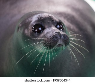 Baikal seal or Nerpa endemic of lake Baikal looking at the camera with huge clever eyes.