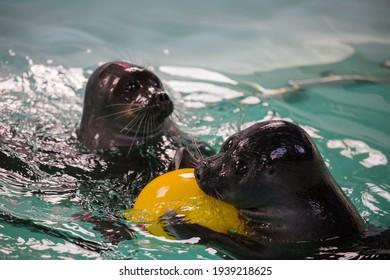 Baikal seals or Nerpa endemic of lake Baikal playing the ball