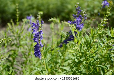 Baikal skullcap - medicinal plant with inconspicuous blue flowers
