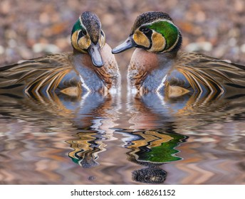 The Baikal Teal (Anas formosa), also called the Bimaculate Duck or Squawk Duck