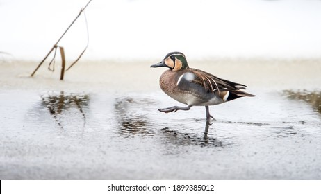 Baikal Teal (Sibirionetta formosa) the rare visitor walks with determined steps on the wet ice of Fyris river, Uppsala, Sweden