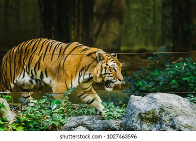 Baikal tiger in the zoo.