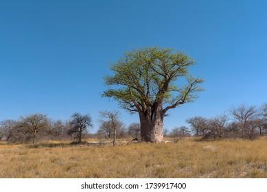 Baines baobab du Nxai Pan National Park, Botswana