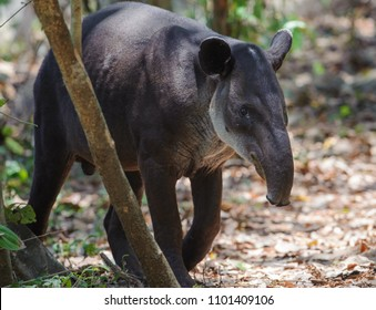 Baird's tapir in Corcovado National Park, Costa Rica