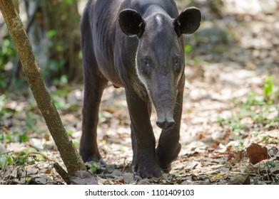 Baird's tapir (Tapirus bairdii), Corcovado National Park, Costa Rica