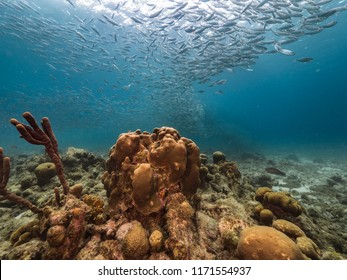 Bait ball at the coral reef in the Caribbean Sea at scuba dive around Curacao /Netherlands Antilles