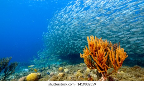 Bait ball in coral reef of Caribbean Sea around Curacao at dive site Playa Grandi