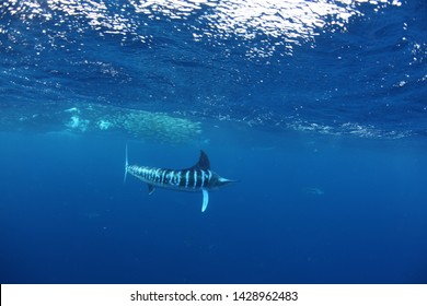 Bait balling striped marlin underwater. Striped marlin are one of the few billfish that regularly work as a team to ball the bait up abasing the surface to feed off it