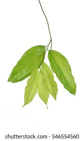 Bai-ya-nang (Thai name) (Tiliacora triandra). Thai herb.Thai food
