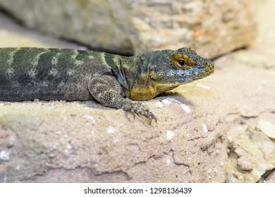 Baja California rock lizard basking on a rock