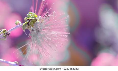 Baja Fairy Duster Flower In Pink