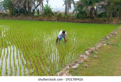 Bakkhali, West Bengal, 01-25-2021: A middle aged rural person (Indian peasant) working in a flooded paddy cultivation field.