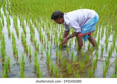 Bakkhali, West Bengal, 01-25-2021: A rural person (Indian peasant) pulling out plant weeds from a flooded paddy cultivation field.