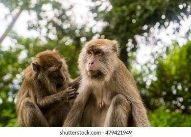 Bako National Park - Monkeys Grooming