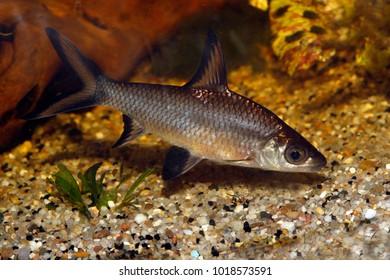 Bala shark, Balantiocheilos melanopterus