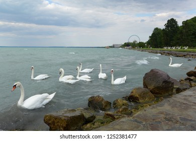 Balaton Hungary June 26th 2016 lake with swimming swans and big circle wheel in the background on the windy day