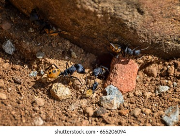 Bal-byter Ants in Southern African savanna