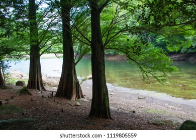 Bald cypress are beside a reservoir.