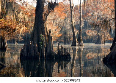 """Bald cypress forest in autumn, showing a """"knees"""" and a rusty color foliage. Caddo Lake State Park, Texas, United States"""