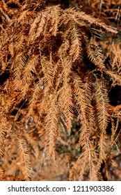 Bald Cypress (Taxodium distichum) in park, Abkhazia