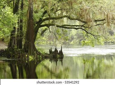 Bald Cypress Tree Overhanging River