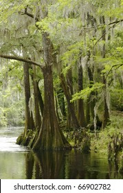 Bald Cypress Trees Along the River in Springtime