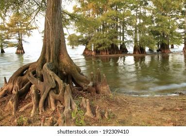 Bald Cypress Trees at the Lakes Edge as the Sun Sets