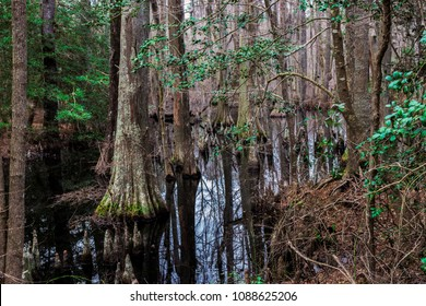 Bald Cypress Trees in a Swamp