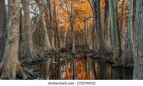 Bald cypress trees (Taxodium distichum) in winter at sunset in Cibolo Nature Preserve in central Texas near Boerne