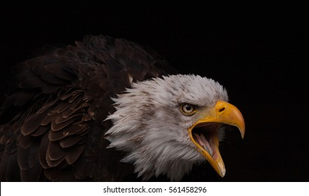 6a269516d Screaming Eagle Images, Stock Photos & Vectors | Shutterstock
